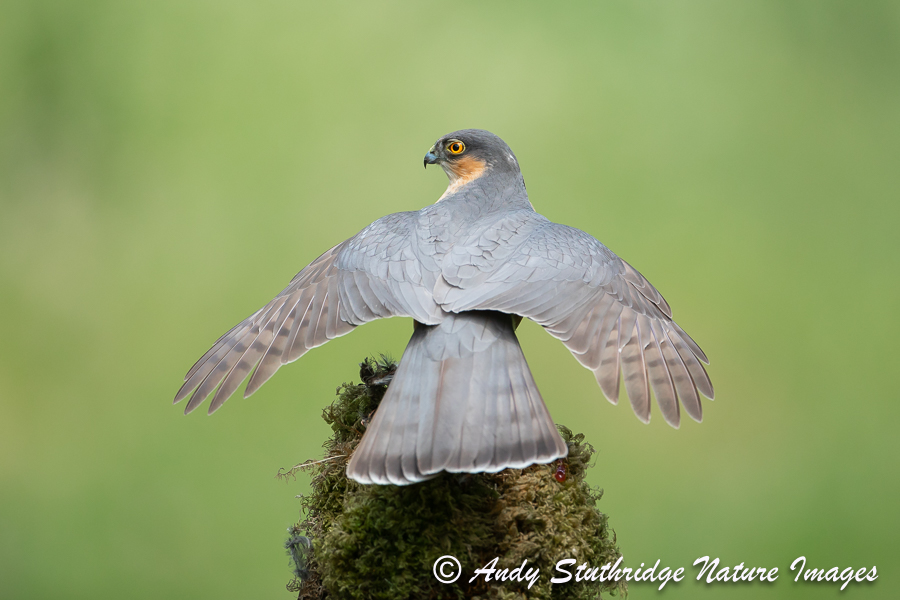 Male Sparrowhawk with Wings out