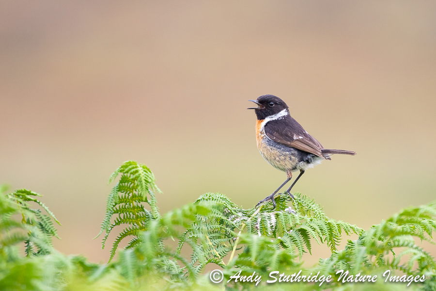 Male Stonechat Calling 2
