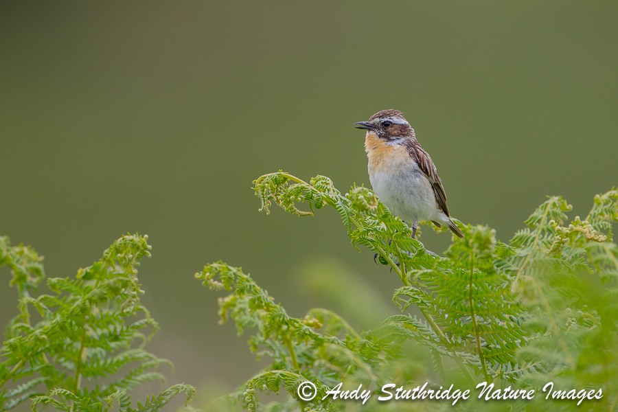 male Whinchat Calling