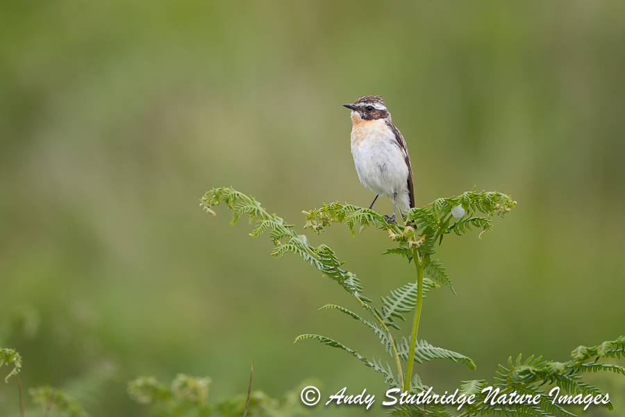 Male Whinchat on Fern