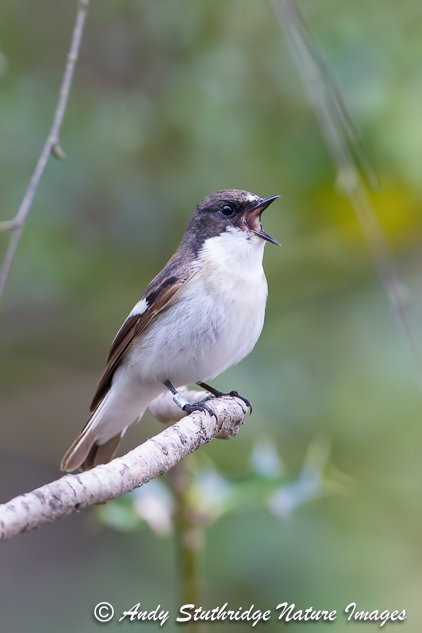 Male Pied Flycatcher Singing