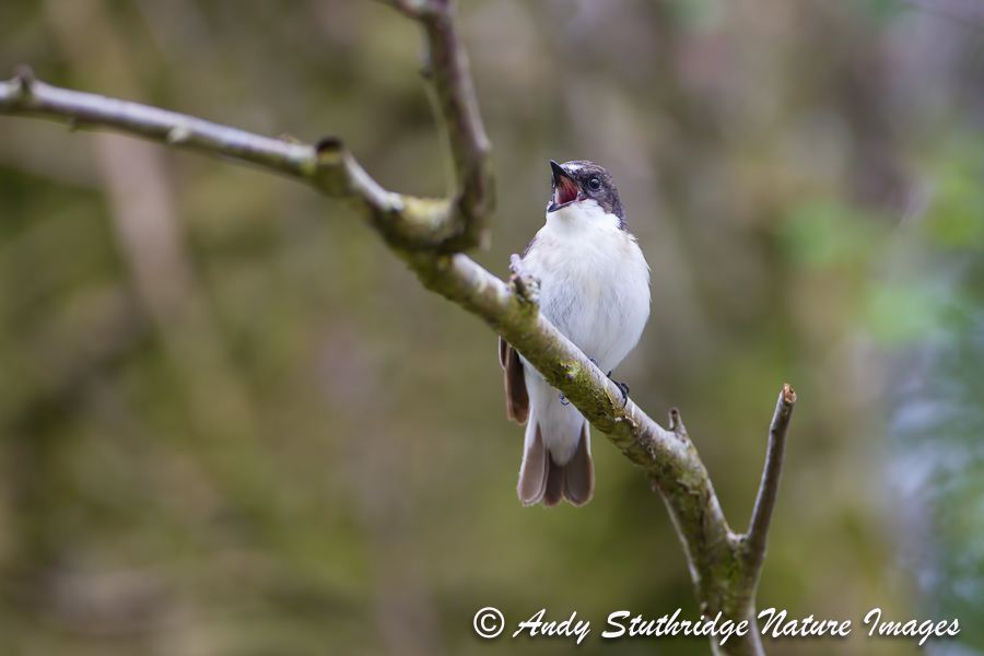 Male Pied Flycatcher Singing 2