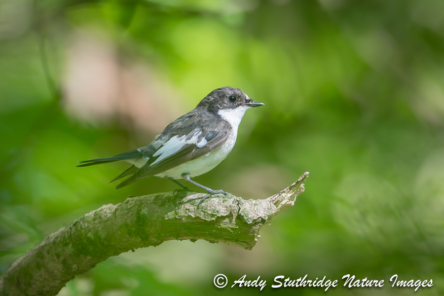 Male Pied Flycatcher in Woodland Canopy