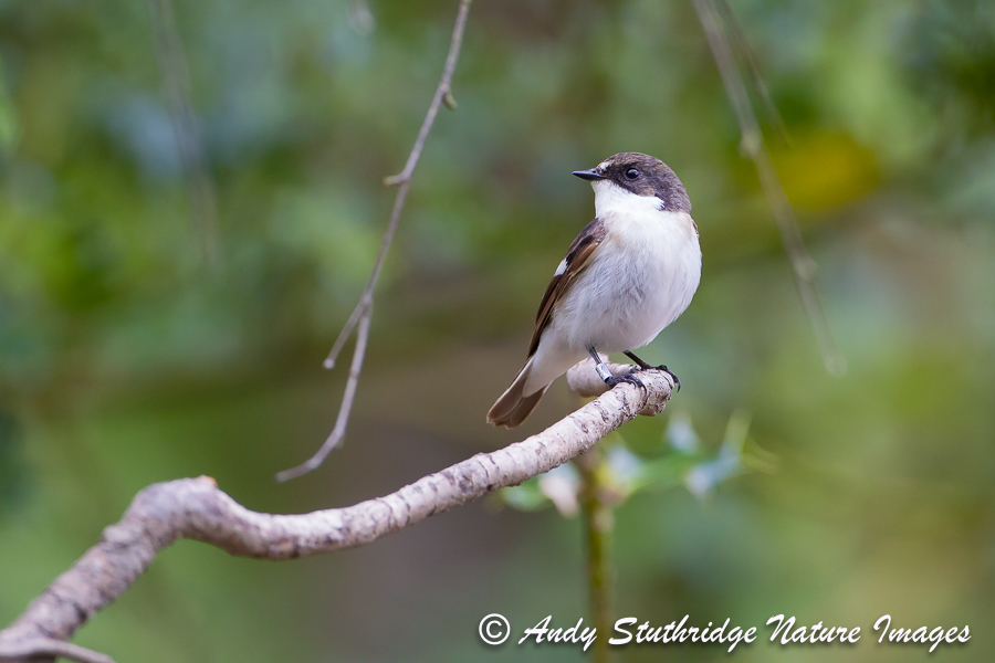Male Pied Flycatcher on Branch