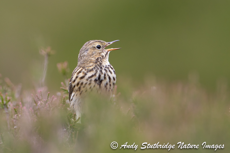 Meadow Pipit Calling in Heather