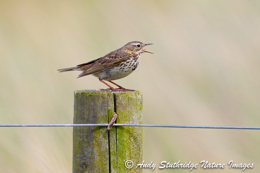 Meadow Pipit Singing from fence Post