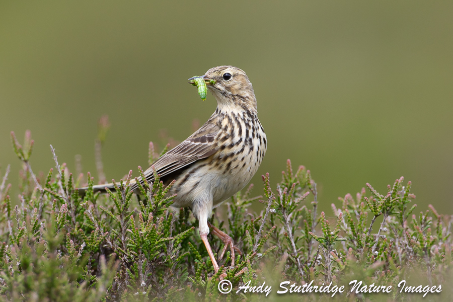 Meadow Pipit with Food