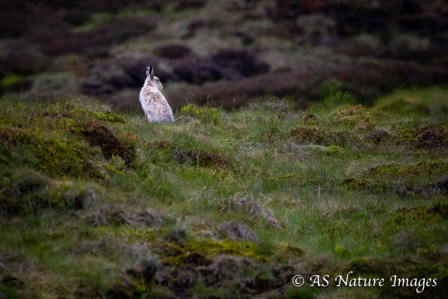 Mountain Hare in its Moorland Habitat