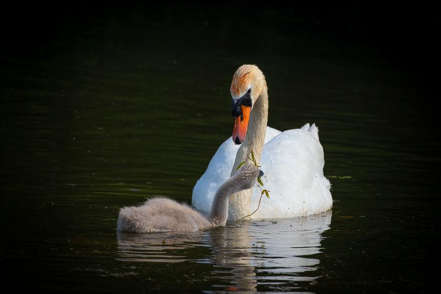 Mute Swan Feeding Cygnet