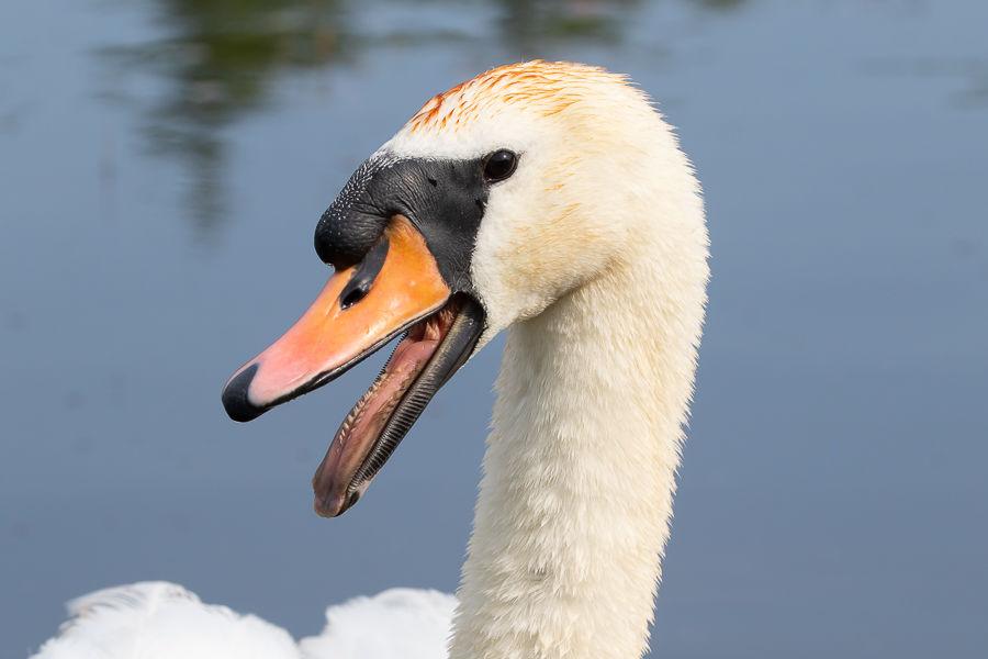 Mute Swan Hiss