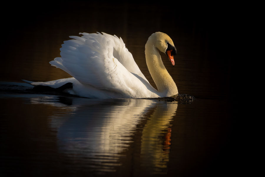 Avalon Gold,Mute swan
