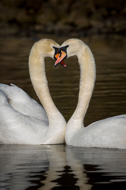 Mute Swans in Love