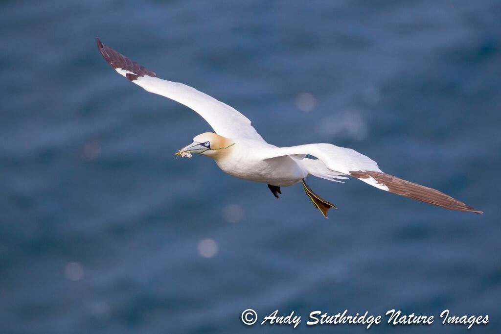 Gannet in Flight with Nesting Material