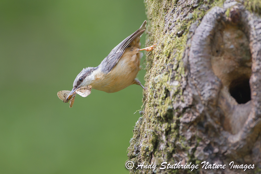Nuthatch Bringing Food to Nest