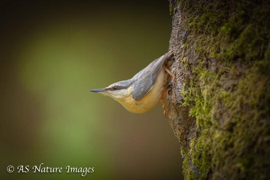 Nuthatch leaving its Nest
