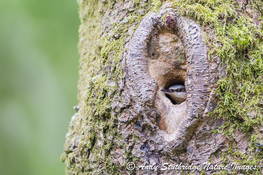Nuthatch Looking Out of Nest Hole