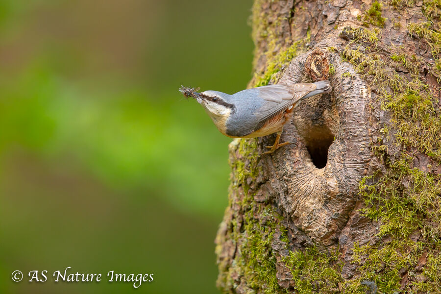 Nuthatch at its Nesting Hole