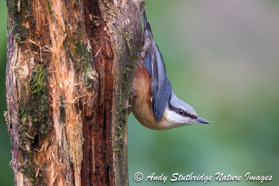 Nuthatch Classic Pose on Dead Tree
