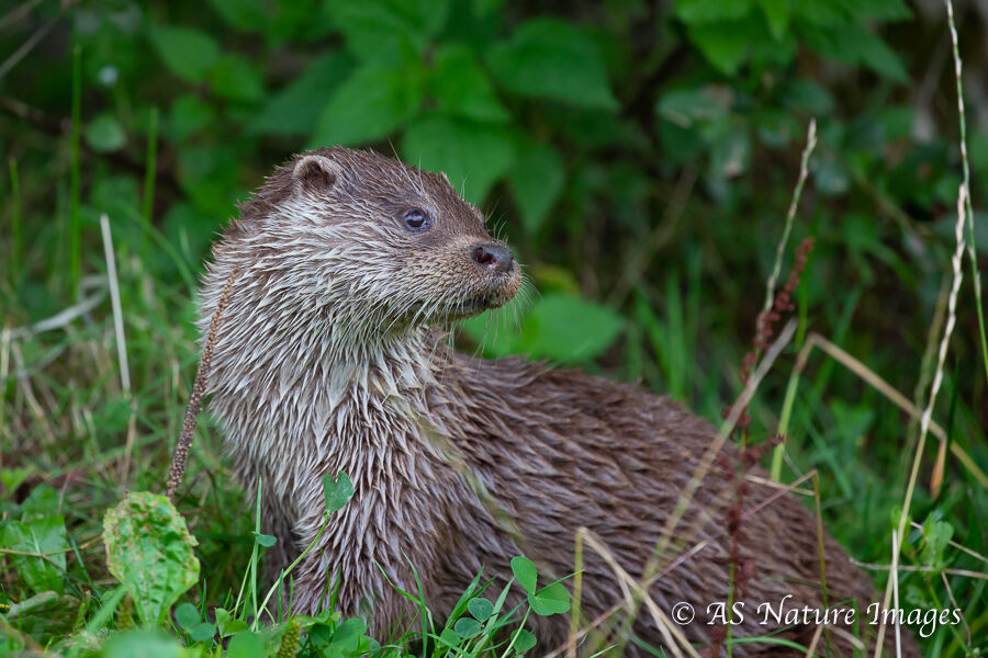 Otter on Riverbank