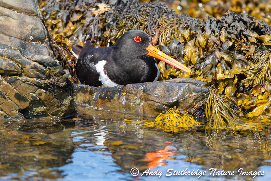 Oystercatcher at the Waters Edge