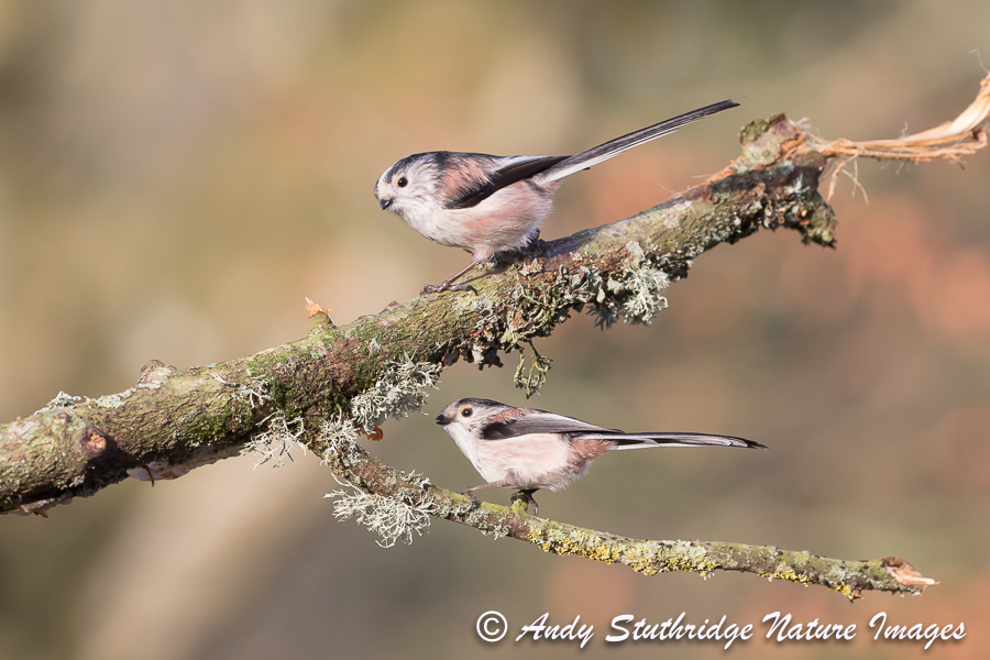 Long Tailed Tits on Tree