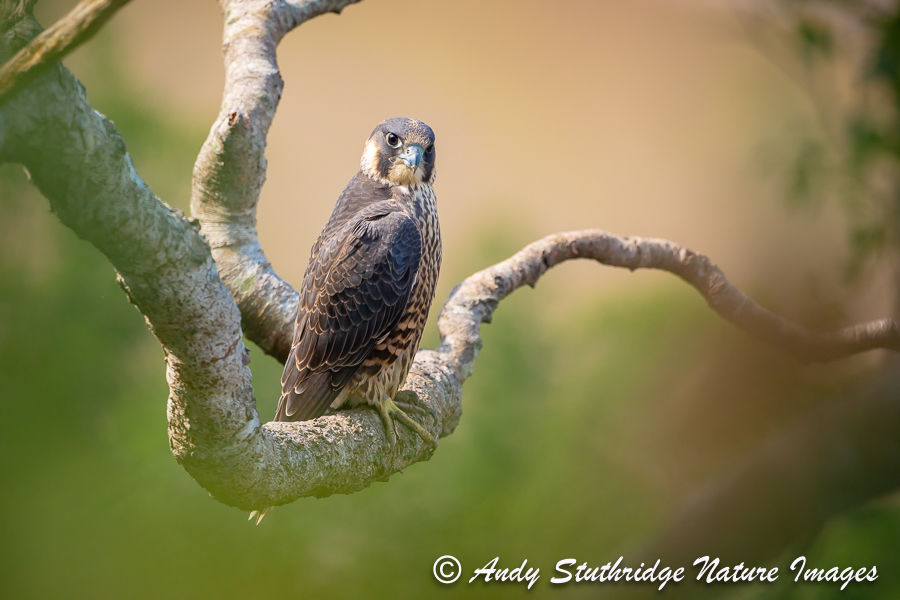 Peregrine Falcon in Old Ttree