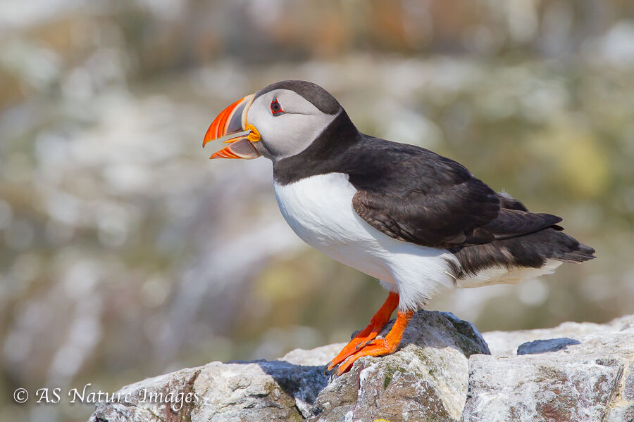 Puffin Calling on Rocks