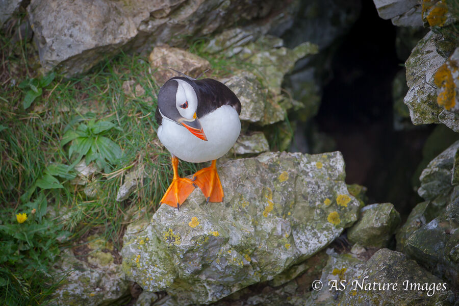 Puffin Contemplation