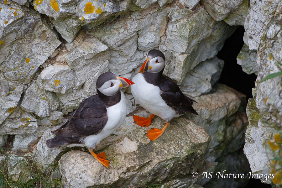 Puffins Pair on Cliff