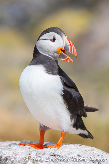 Puffin Pose