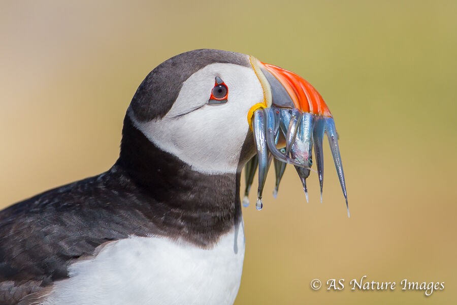 Puffin Carrying Sandeels