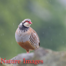 RED-LEGGED PARTRIDGE IN RAIN