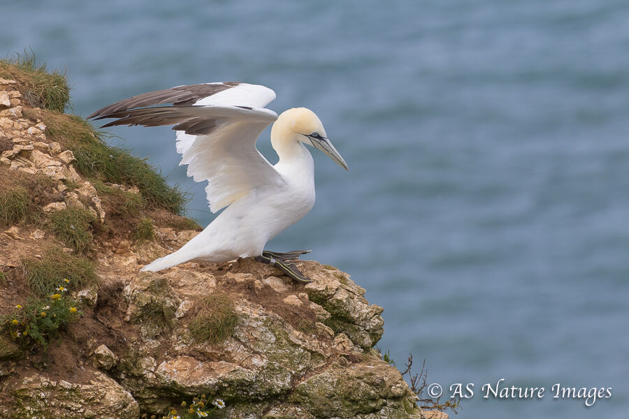 Gannet Ready for Take-Off