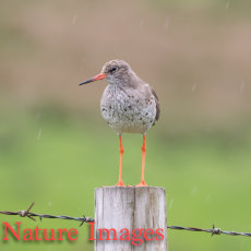 REDSHANK IN THE RAIN