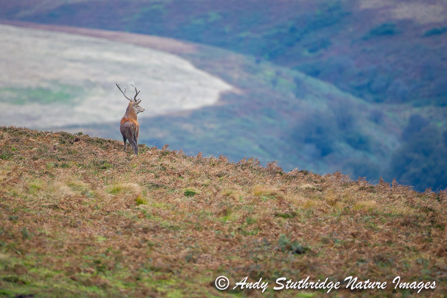 Red Deer Stag on Exmoor