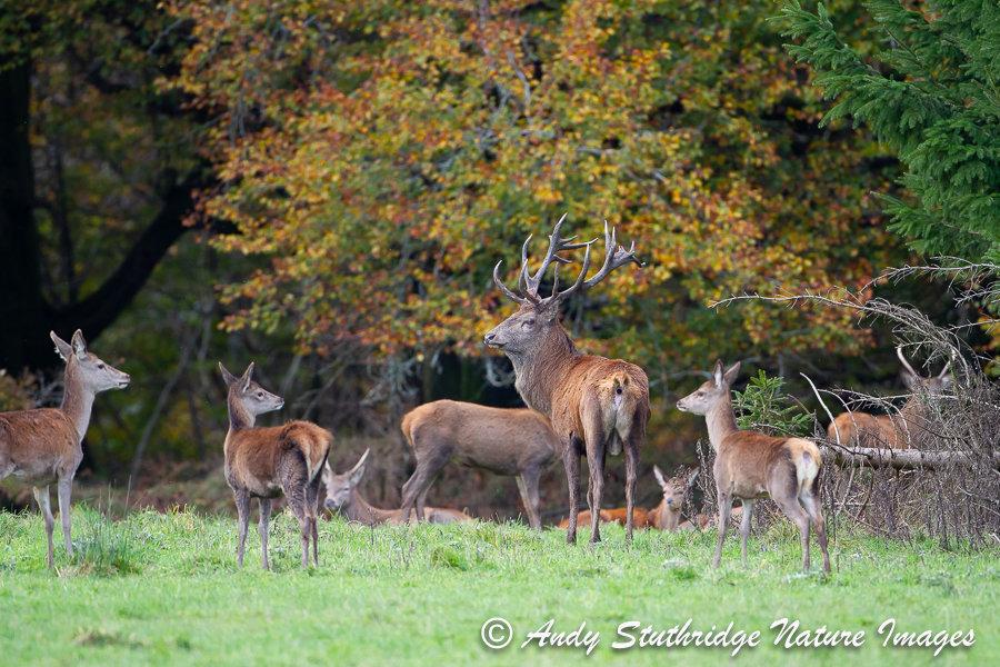 Red Deer in Woodland