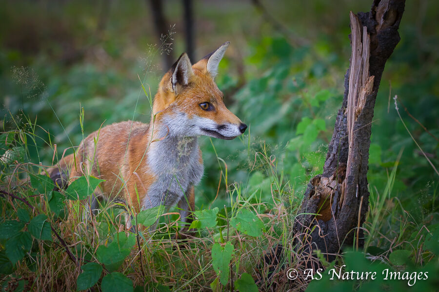 Red Fox in Woodland