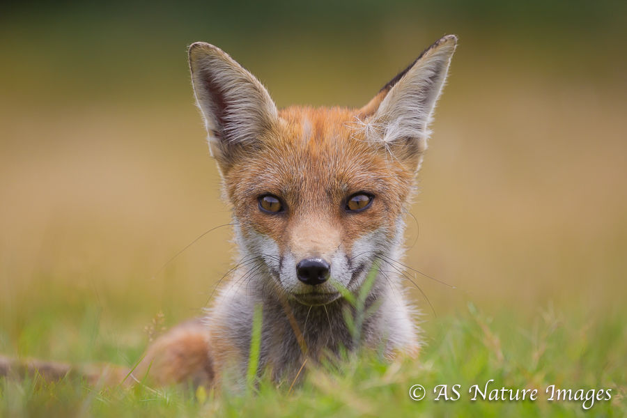 Red Fox at EyeLevel