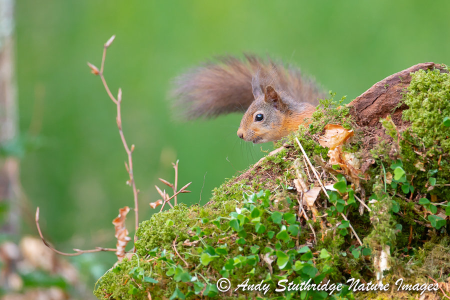 Red Squirrel Behind Tree