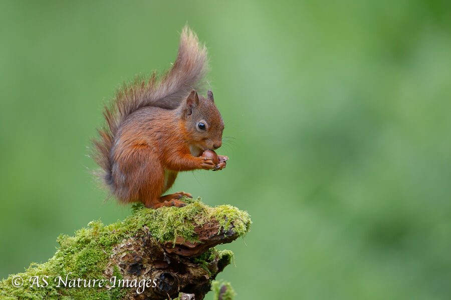 Red Squirrel Feeding 2