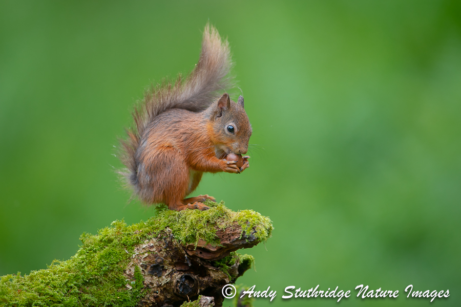 Red Squirrel Eating Acorn on Old Tree