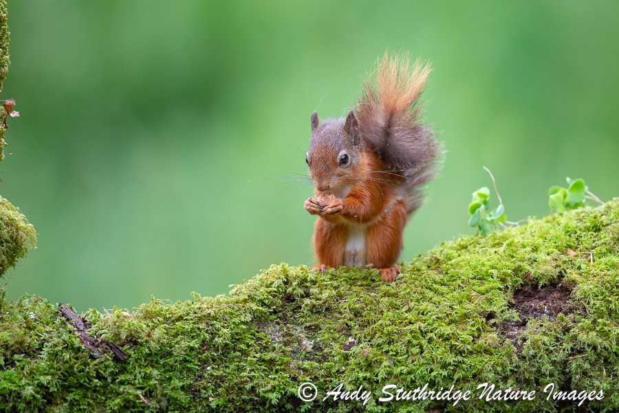 Red Squirrel Eating Acorn on Tree