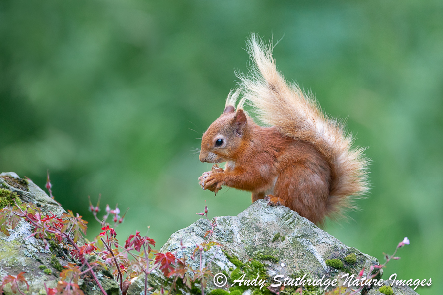 Red Squirrel with Acorn