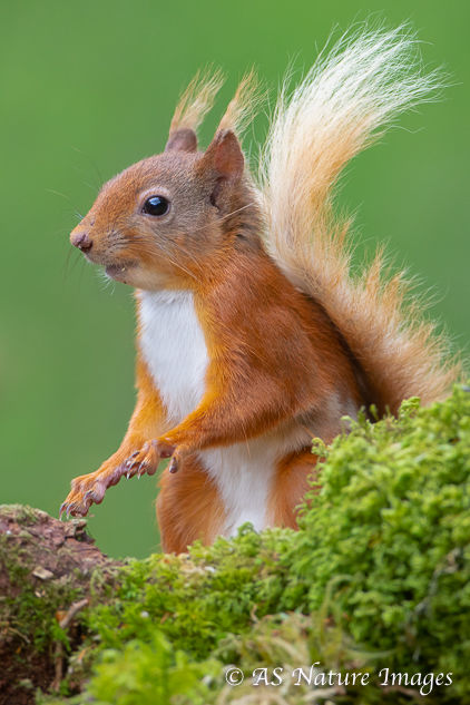 Red Squirrel Portrait
