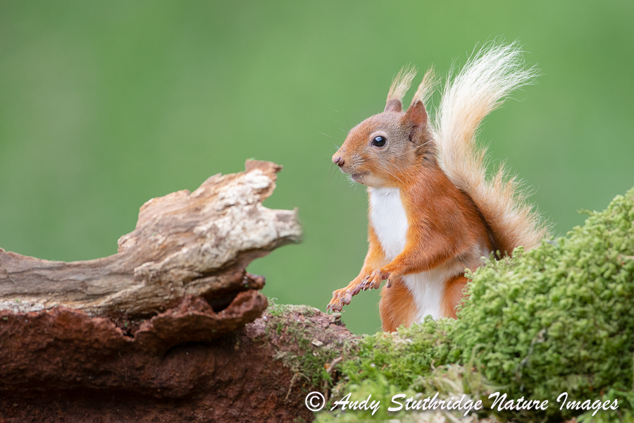 Red Squirrel Standing on Log
