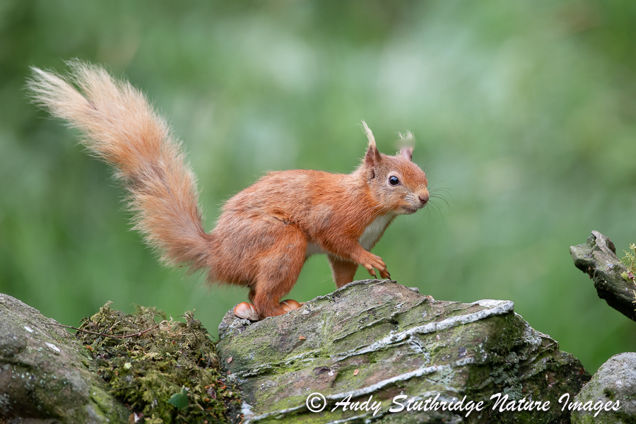 Red squirrel on Wall 2