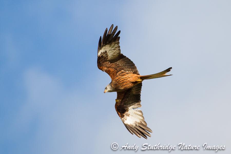 Red Kite in Flight 2