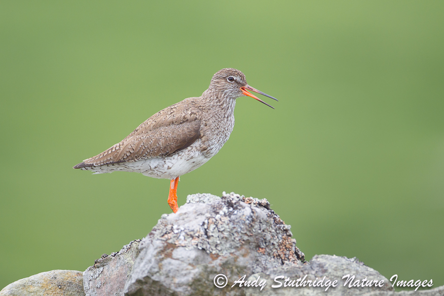 Redshank Calling on Drystone Wall