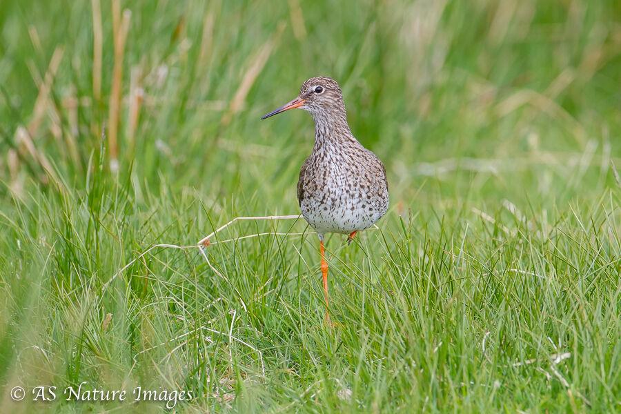Redshank in a Wetland Meadow