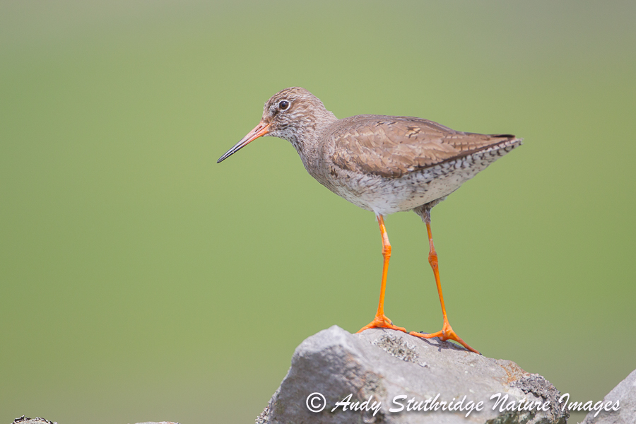 Redshank on Drystone Wall